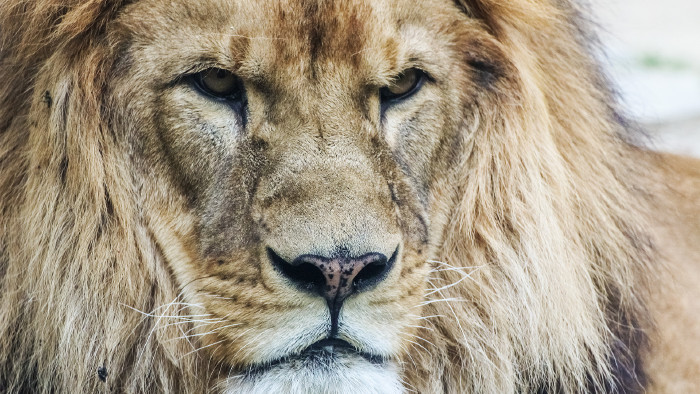 Löwe © msanca - stock.adobe.com